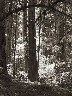 Trees In The Forest Photograph - Walking In The Redwoods 5 by Mike McGlothlen