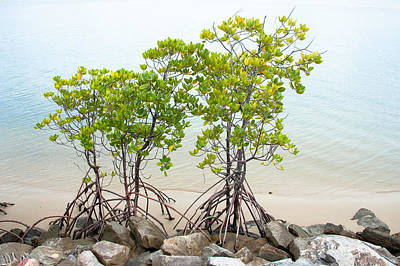 Photograph - Walking Mangroves by Harry Spitz