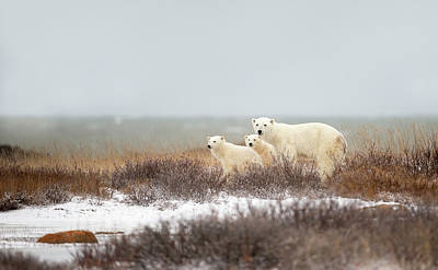 Bear Photograph - Walking On The Shore by Marco Pozzi