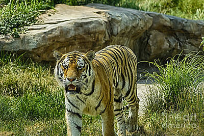 Photograph - Walking Tiger by Jeremy Linot