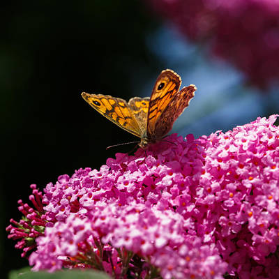 Buddleia Photograph - Wall Brown Butterfly On Buddleia by Izzy Standbridge