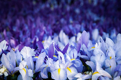 Photograph - Wall Of Purple Iris by Connie Cooper-Edwards