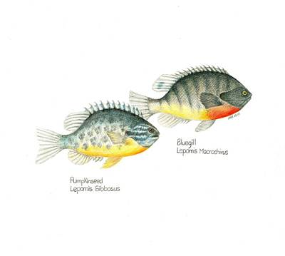 Wallace Brantley Fishing Series Bluegill And Pumpkinseed Original by Sharon Blanchard