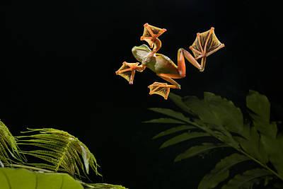 Wallaces Flying Frog Danum Valley Sabah Art Print
