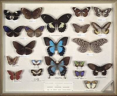 Natural History Museum London Photograph - Wallace's Malay Butterflies, 19th by Science Photo Library