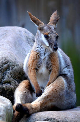 Painting - Wallaroo 1 by Amanda Vouglas