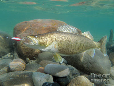 Walleye Duped By Dardevle  Art Print by Paul Buggia