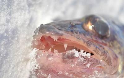 Walleye Teeth Art Print