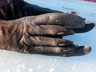 Carcass Photograph - Walrus Rear Flipper by Louise Murray