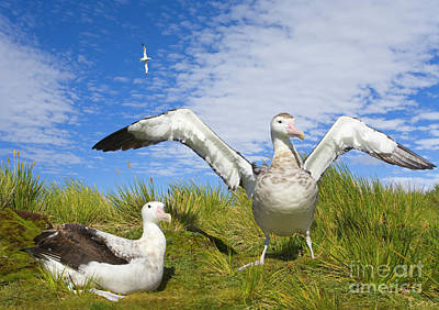 Albatross Photograph - Wandering Albatross Courting  by Yva Momatiuk John Eastcott