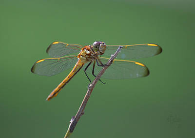 Dragonflys Photograph - Wandering Glider Dragonfly - Pantala Flavescens by rd Erickson