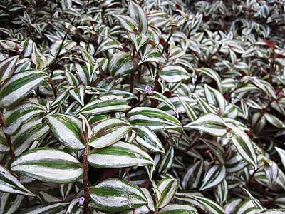 Photograph - Wandering Jew Plant by MTBobbins Photography