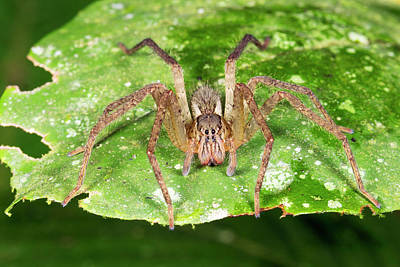 Ecuadorean Fauna Photograph - Wandering Spider by Dr Morley Read