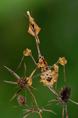 Photograph - Wandering Violin Mantis by Francesco Tomasinelli