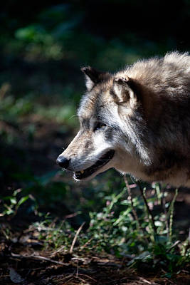 Photograph - Wandering Wolf by Karol Livote