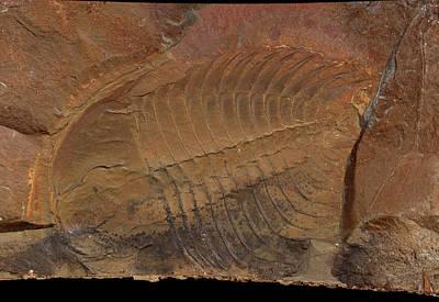 Trilobite Photograph - Wanneria Walcottana Trilobite by Natural History Museum, London