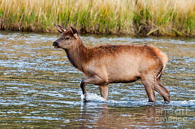 Photograph - Wapiti Elk Alf Crossing The Madison River In Yellowstone National Park by Fred Stearns