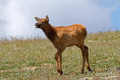Photograph - Wapiti Elk Calf In Rocky Mountain National Park by Fred Stearns