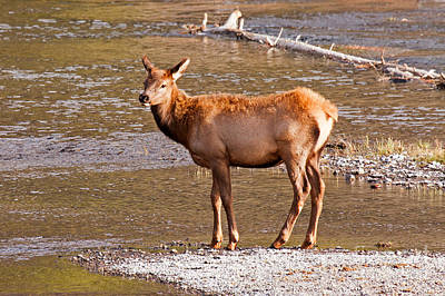 Photograph - Wapiti Elk Calf Standing By The Madison River Inyellowstone National Park Yellowstone National Park by Fred Stearns