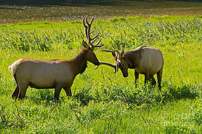 Photograph - Wapiti Elk Rocky Mountain National Park by Fred Stearns