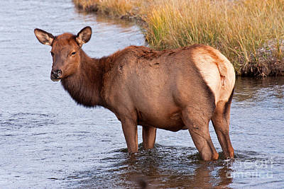 Photograph - Wapiti Elk Standing In The Madison River In Yellowstone National Park by Fred Stearns