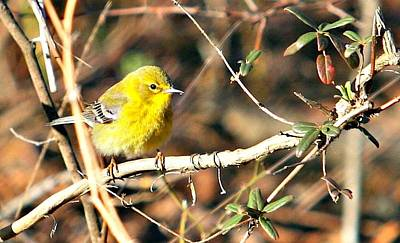 Photograph - Warbler by Debbie Sikes