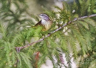 Warbler In The Cypress Art Print by Deborah Benoit