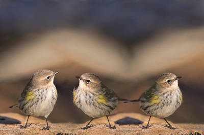 Yellow Rumped Warbler Photograph - Warbler Times Three by Bonnie Barry
