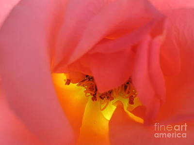 Photograph - Warm Glow Pink Rose 3 by Tara  Shalton