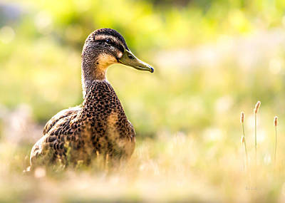Framed Inspirational Wildlife Photograph - Warm Summer Morning And A Duck by Bob Orsillo