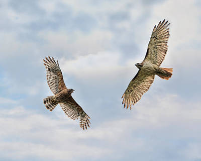 Buteo Lineatus Photograph - Warriors Of The Sky by Jai Johnson