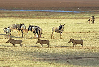 Photograph - Wart Hogs And Wildebeest by Tony Murtagh
