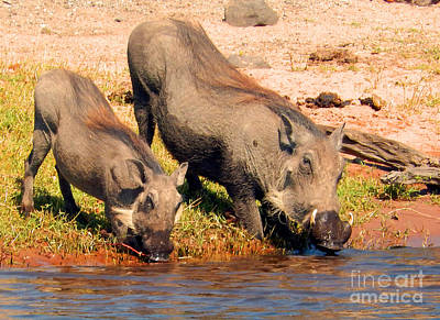 Photograph - Warthog Family by Carolyn Jarvis