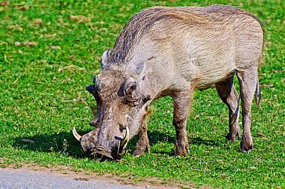 Warthog In Addo Elephant Park Near Port Elizabeth-south Africa  Art Print