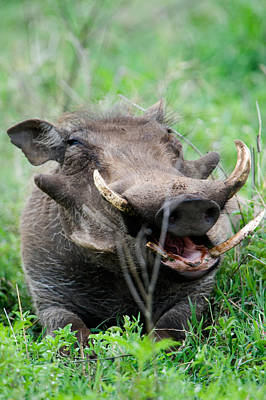 Warthog Phacochoerus Aethiopicus Art Print by Panoramic Images