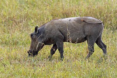 Photograph - Warthog by Tony Murtagh