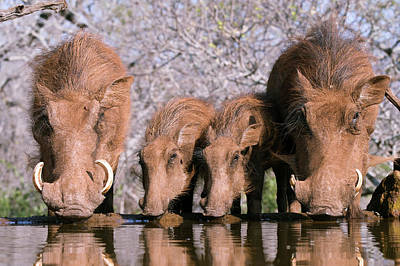 Baby Pigs Wall Art - Photograph - Warthogs Drinking by Dr P. Marazzi/science Photo Library