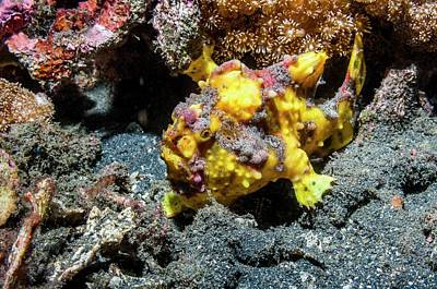 Warty Frogfish On A Reef Art Print