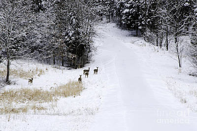Photograph - Wary - Deer by Mary Carol Story