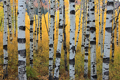 Fall Trees Photograph - Wasatch Aspens by Johnny Adolphson