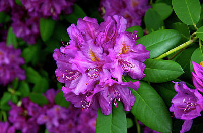 Washington Coastal Rhododendron Art Print