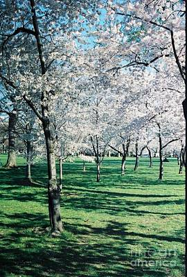 Photograph - Washington Dc Cherry Blossoms by Eric  Schiabor