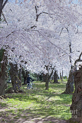 Photograph - Washington Dc Spring Cherry Blossoms Woman Walking Bike  by David Zanzinger