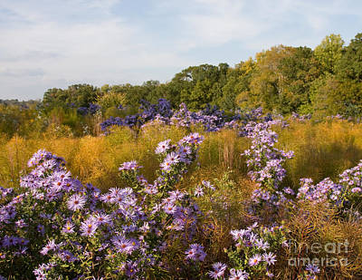 Photograph - Washington Fall Asters  by Chris Scroggins