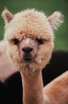 Alpaca Photograph - Washington, San Juan Island, Close by Stuart Westmorland