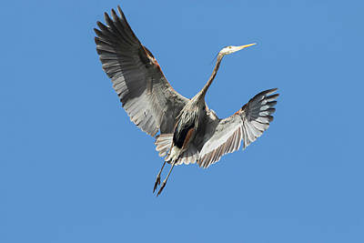 Redmond Photograph - Washington State, Redmond, Great Blue by Jamie and Judy Wild