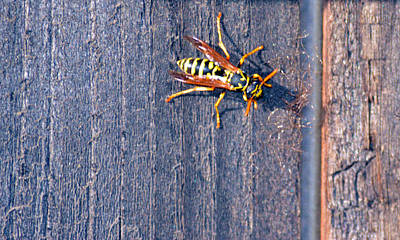 Photograph - Wasp 3 by Brent Dolliver