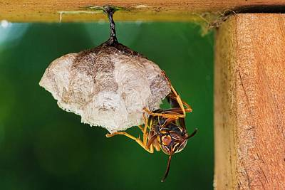 Photograph - Wasp At Work by Christy Patino