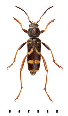 Longhorn Photograph - Wasp Beetle by Natural History Museum, London