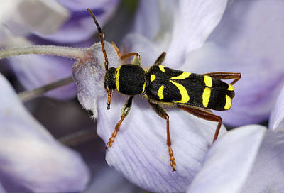 Longhorn Photograph - Wasp Beetle by Nigel Downer